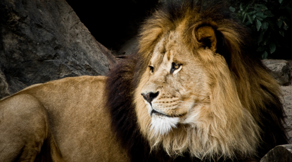 Pride of Lions Killing Suspected Rhino Poachers has Twitter Applauding the Cats