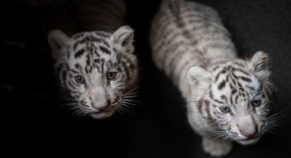 Two Rare White Tiger Cubs Found New Home In Nicaragua