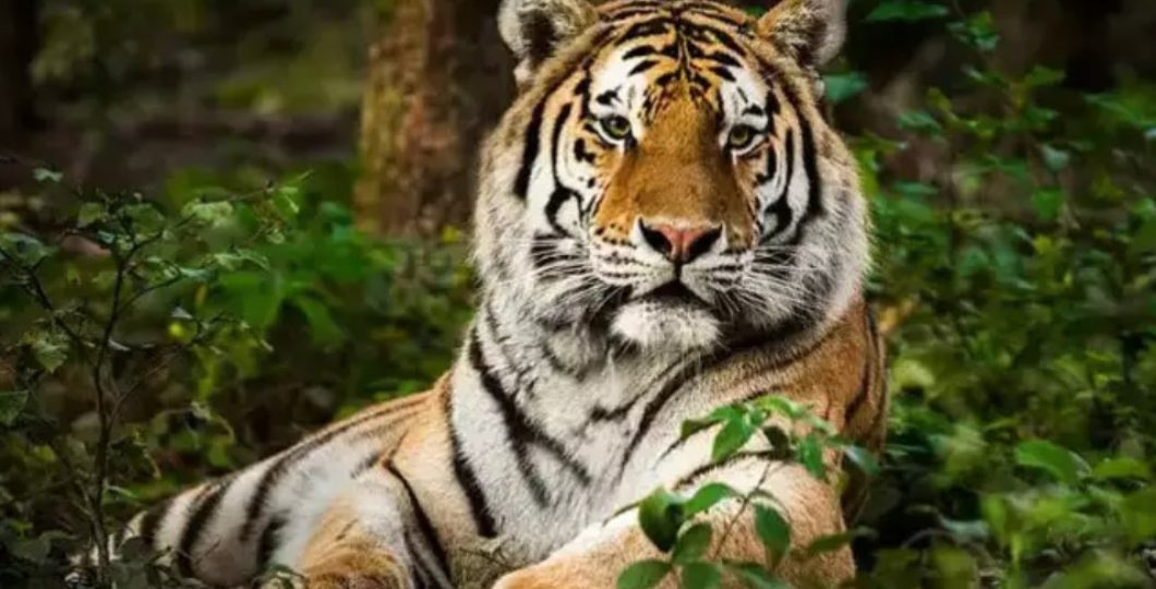 Four-year-old Tiger in a New York Zoo Tests Positive for COVID-19