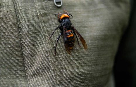 After COVID-19 New Life-threat for Americans, Asian Giant Murder Hornet
